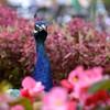 Peek-A-Boo Peacock