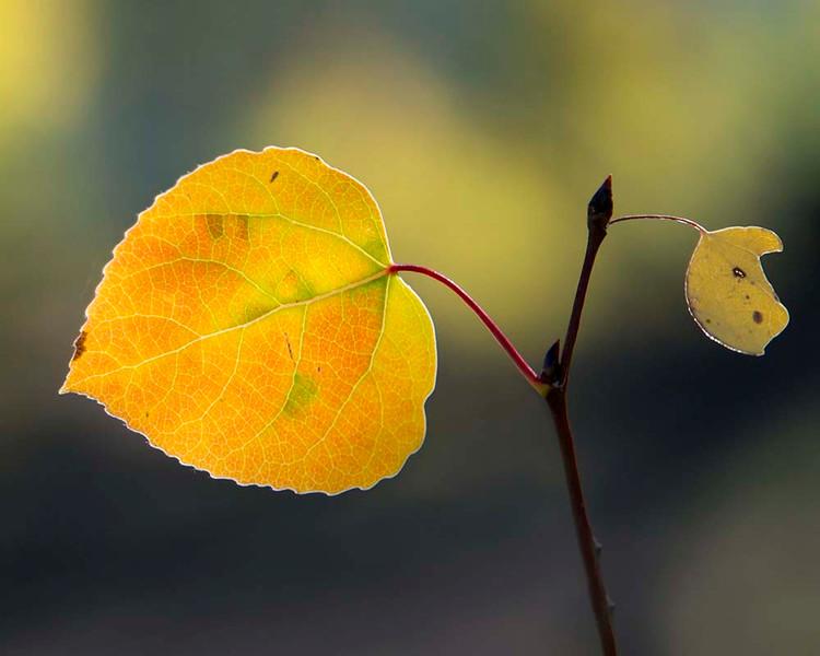 JennyHaralamos_Aspen Leaf_color-print_11x14_$75_jenharley1@aol com_513-407-6638