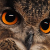 Ken Helferich, Eyes of the Hunter,  digital image, 16x20, $100.00, xjken99@hotmail.com, 513-741-0543