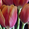 Carol Waddell, Tulips, Digital Print 11x14 printed and framed to 16x20, $150.00, carol1747@gmail.com, 513-217-7073