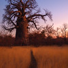 Sherry Hopkins, Baobab, framed digital print, 8x10, $60, sherrylachelle@gmail.com, 513-612-8755.