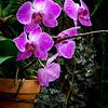 Verda Orchid