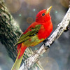 Jenny Gandert, Tanager Dream World, Metal Print, 8X10, 75.00, solo.photographer@gmail.com, 513.899.9255