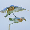 Liz Noffsinger  Two Bluebirds  Photography  11x14  $50  Noffi@aol.com 379-0822