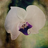 Pam DeCamp; Orchid; 12x12; digitally enhanced on metallic paper; $185; pdcpics1982@yahoo.com; (740) 981-2207
