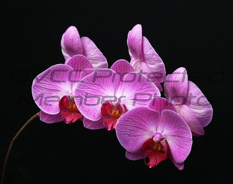 John Butler, Orchid, Digital print, 14 x 16 approx., $100, jbutler2@isoc.net 513-874-3629