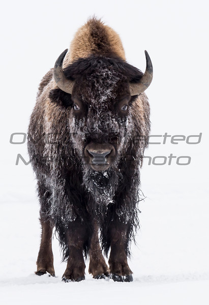 Fred Haaser, Snowy Bison, Color Print 13x19 framed, $125, Pack489@yahoo.com, 513-602-1734