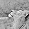 g wilson lion 16x20 lustre print $125 miphotog76@yahoo.com 513-314-8657