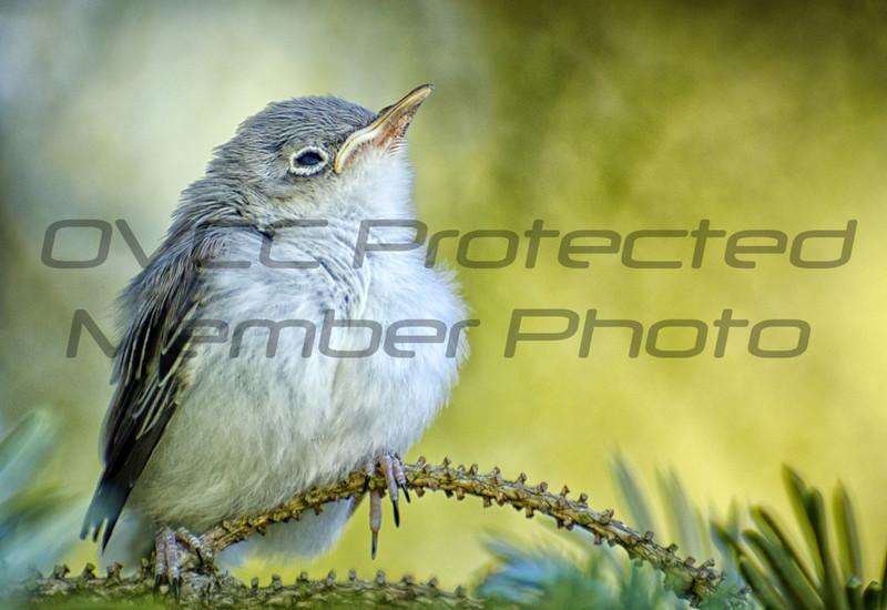 Theresa Frede/Blue Gray Gnatcatcher/ 8x12 print framed to 12 x16/ $120/trede70@gmail.com/513-240-9902