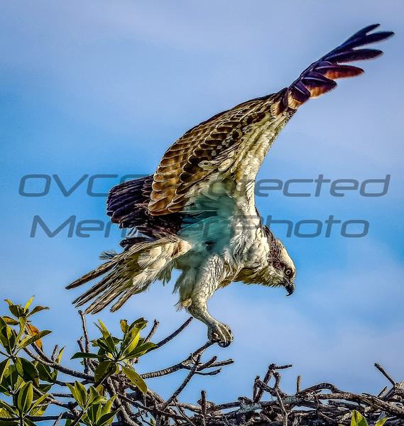 Key Largo Osprey