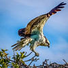 Key Largo Osprey