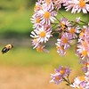 g wilson  bumble bee in flight 16x20 lustre print $125 miphotog76@yahoo.com 513-314-9657