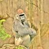 g wilson gorilla 16x20 lustre print $125 miphotog76@yahoo.com 513-314-9657