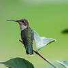 Ramon Garcia, Hummingbird resting, 11x14 print matted and frame 16x20 - $180