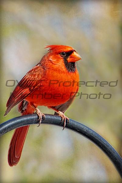 "Joe Chunko, ""OHIO RED CARDINAL"", photo printed on Rice Paper, 20x24, $150.00, jrchunko@gmail.com, 513-702-6976"