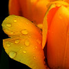 Ken Helferich,Tulips, digital print, 16x20, $125.00, xjken99@hotmail.com, 513-262-3215