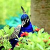 g wilson peacock 16x20 lustre print $125 miphotog76@yahoo.com 513-314-9657
