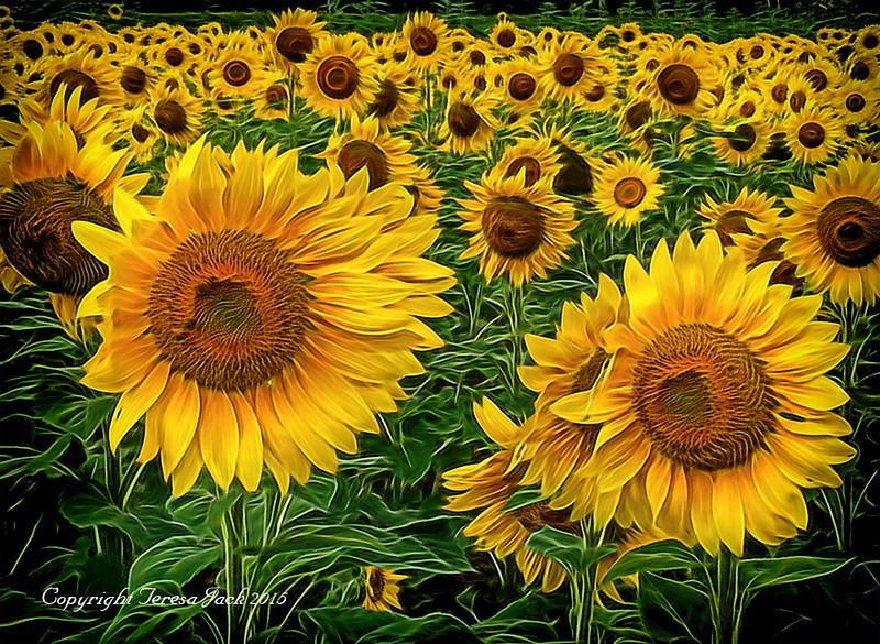 Teresa Jack, Sunflowers, photography, 16x20 canvas, $155.00, teresajack@hotmail.com, 513-218-0754