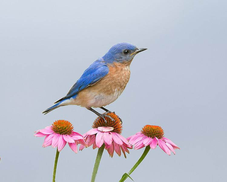 Liz Noffsinger  Bluebird   Photograph  11x14  $50   Noffi@aol.com  379-0822