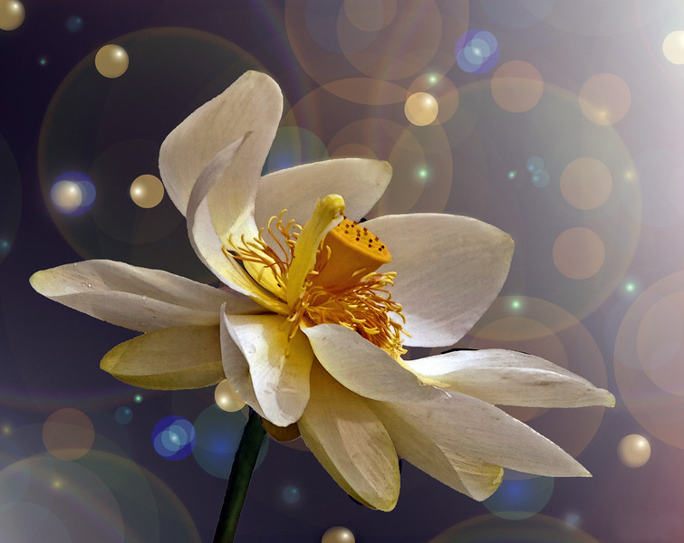 Jenny Gandert, Lotus Blossom Dreams, Metal Print, 8X10, 75.00, solo.photographer@gmail.com, 513.899.9255
