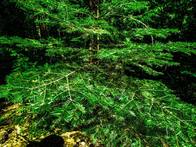 Nelder Grove of Giant Sequoias (CA)