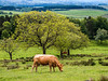 English Farm and Cows