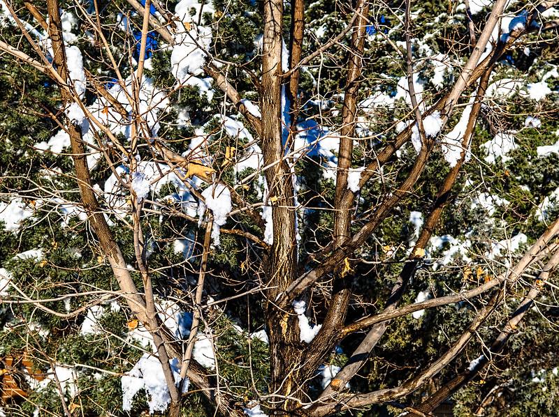 Front Yard Tree: Boulder