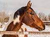 Horse profile in winter