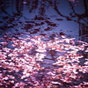 <h2>Spring's Embers - Cherry Blossom Petals on the Surface of a Pond</h2>  Spring rises as a younger subdued phoenix from Autumn's dormant flame stoked by the warmth of the sun as it ascends from the icy muffled ground of Winter.  As Spring burns with its pink and white flame, the trees dance shaking off frigid thoughts of barren times.  And when the trees have fortified themselves with the fire of renewal, Spring's pale pink and white ash scatters onto the wind carried by the whisper of Autumn's dreaming utterances before falling to the surface of the water like tiny embers as they flicker in the sunlight alight with a dream of Summer.  ---  Cherry blossoms petals on the surface of the pond at the Japanese Hill and Pond Garden at Brooklyn Botanic Garden in New York City.
