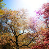 <h2>The Grandest of Dreams - Cherry Blosssoms - Brooklyn Botanic Garden</h2> - By Vivienne Gucwa  Cherry blossom trees celebrate new life under the strong illuminating glow of springtime sunlight at Brooklyn Botanic Garden in New York City.
