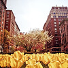 <h2>Park Avenue in the Spring - Upper East Side - New York City</h2> - By Vivienne Gucwa  There is nothing quite like spring on Park Avenue in upper Manhattan. The gorgeous, ornate architecture is adorned by beautiful spring blossoms.  Park Avenue is one of the wider avenues on the Upper East Side and has a center divider that showcase trees and flowers. In the spring, rows and rows of yellow tulips bloom at once catching the sunlight with their effervescent petals while the trees on either side of the avenue and in the center area feature pink, yellow, white and light green blossoms.  ---