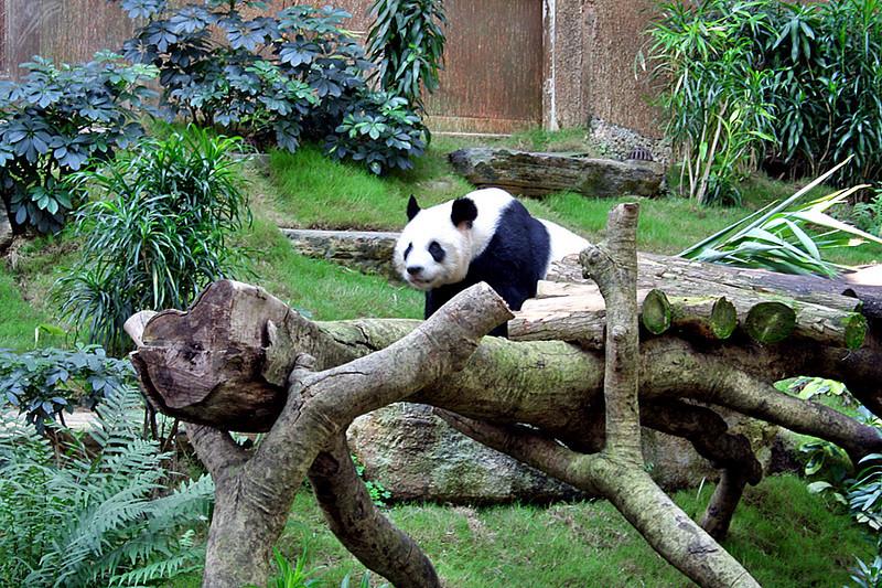 Ocean Park, Panda
