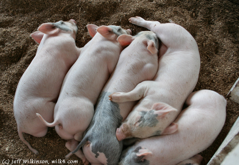 """a pile of peaceful, pooped piggies, #2400 (this photo is for sale on istockphoto as #<a href=""""http://www.istockphoto.com/file_closeup.php?id=4550590?refnum=jwilkinson"""">4550590</a>)"""