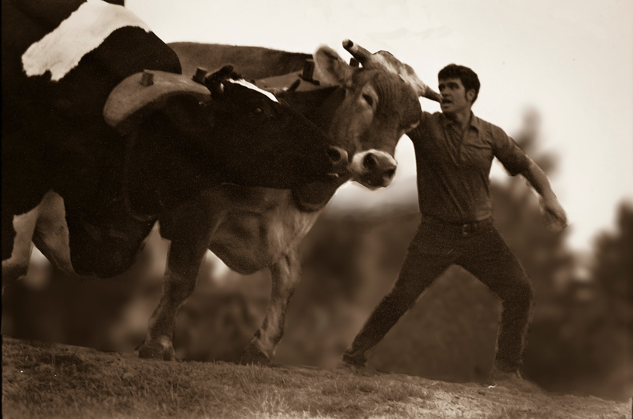 Ox Pull Sepia