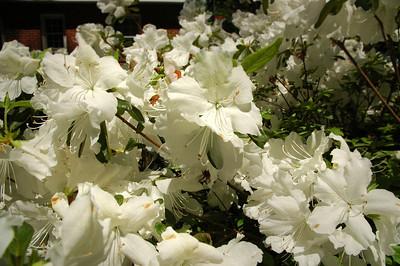 Robin - spring azaleas