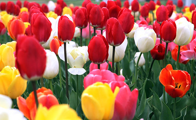 ANNA NORRIS/CHRONICLE A sea of tulips are in bloom at the front of Lakeview Park in Lorain on Sunday afternoon, May 1.