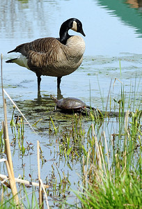 A Canadian goose and turtle in the marsh at Sandy Ridge Reservation in North Ridgeville on Wednesday, May 4. STEVE MANHEIM/CHRONICLE