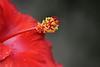 June 10, 2012 Hibiscus,