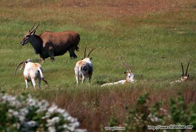 eland and oryx