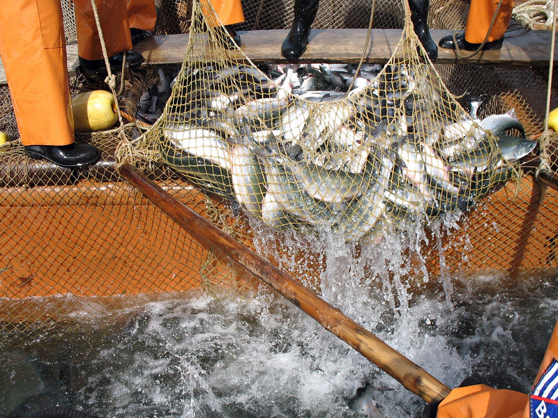 Bringing in the catch. (Cape Nuklya, Russia) (мысе Нюкля, Магаданская область)
