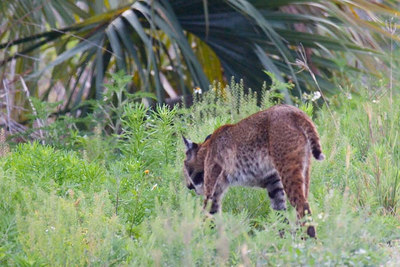 Florida bobcat having just crossed the road 80-100 feet ahead of us (click on 'map this' for location)
