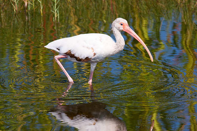 White ibis doing his thing