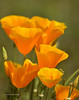 Golden Poppy  055