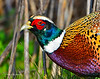 RING-NECKED PHEASANT  052011315