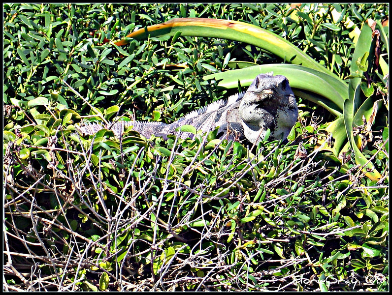 Iguana Stare Back at You!!! <br /> Isla Mujeres, Mexico
