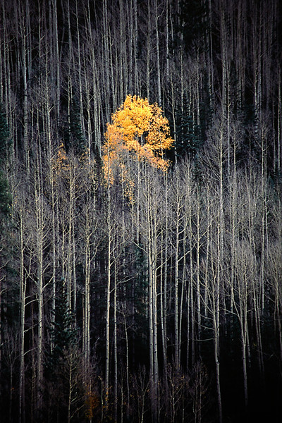 Single Colored Aspen