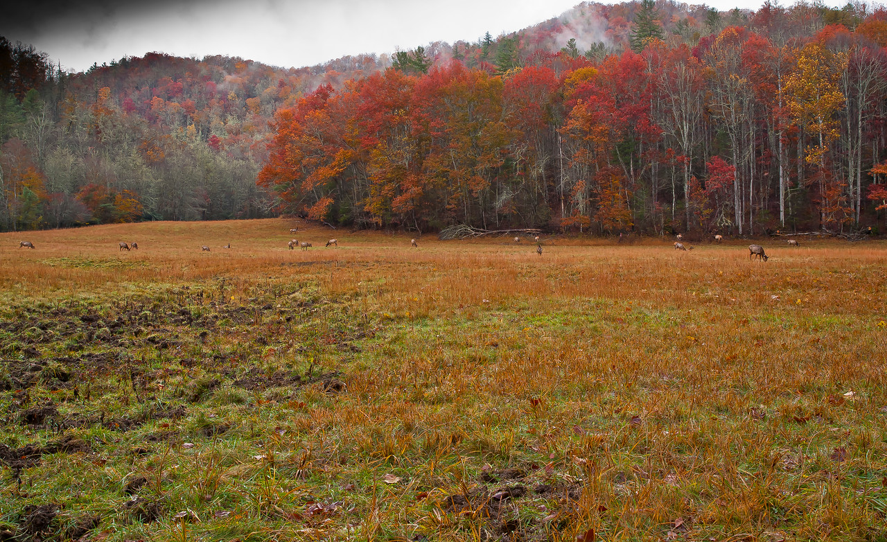 Elk in the beautiful Cataloochee Valley North Carolina.  After an absence of 140 years the native American Elk has been restored to the Appalachian ecosystem.