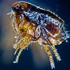 A Flea