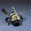 Carpenter Bee using focus stacking