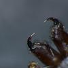 American Grass Spider (Agelenopsis )